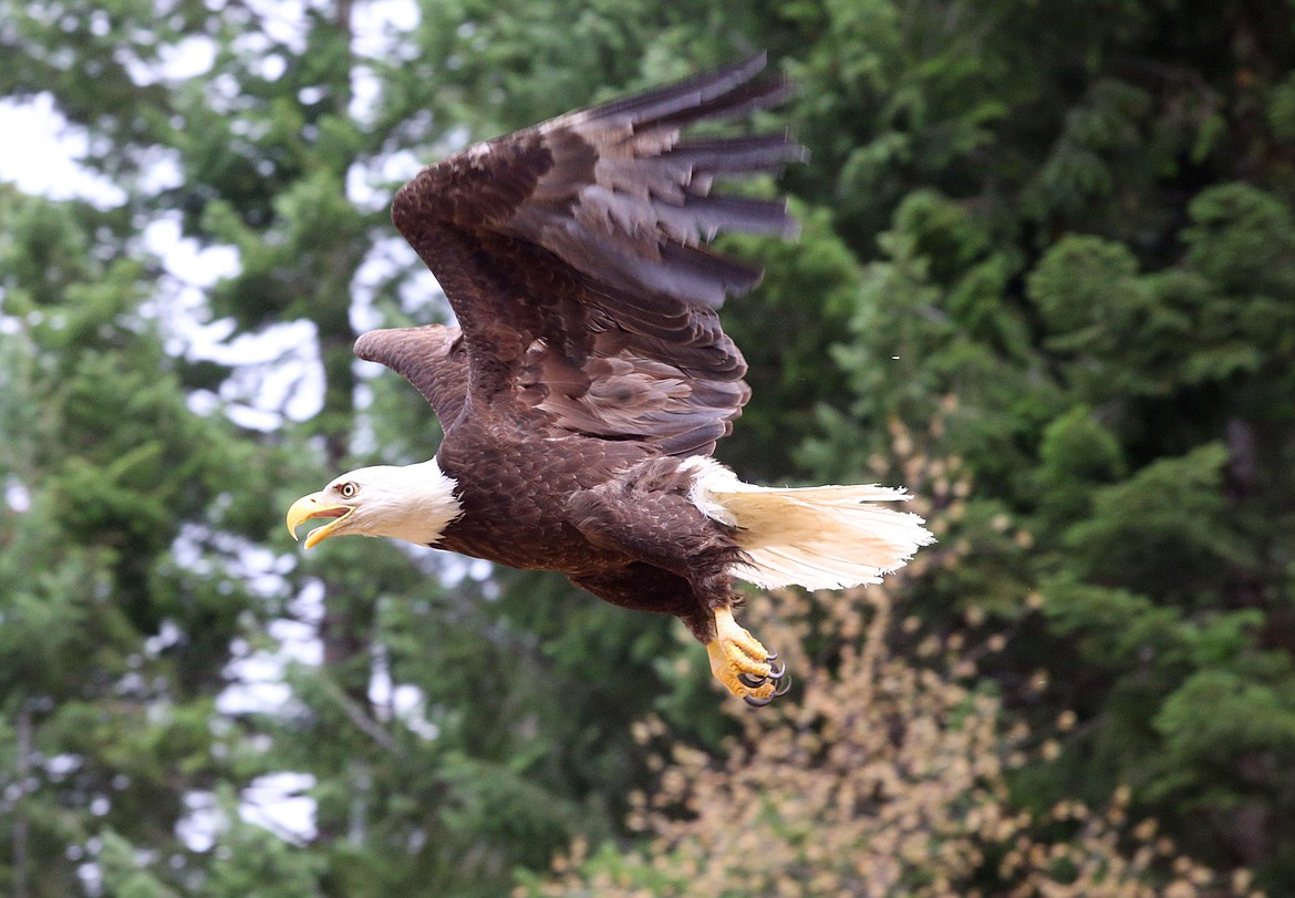 """A bald eagle named """"Wolf"""" flies to freedom Tuesday."""