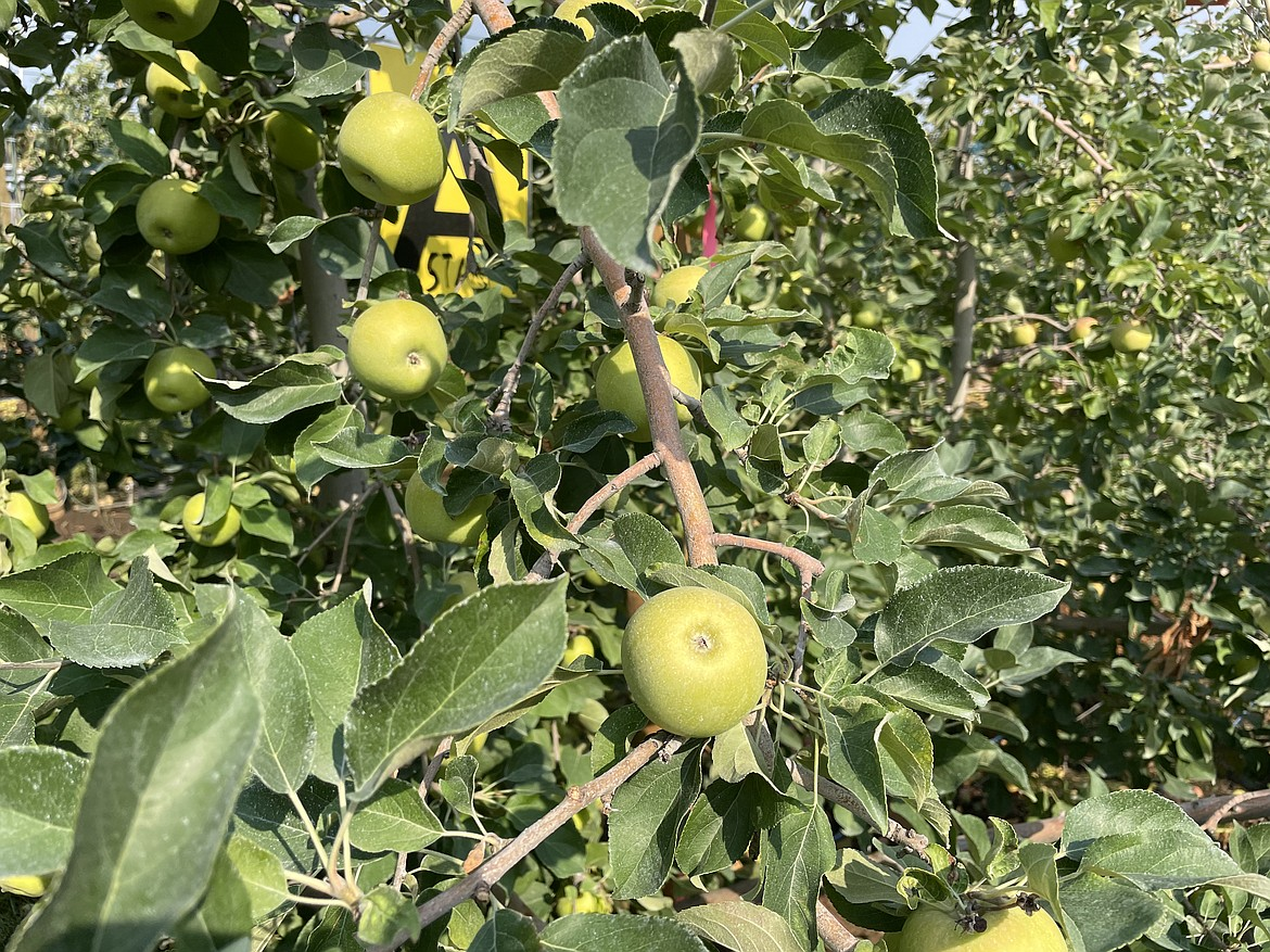 Apples growing in the Smart Orchard.
