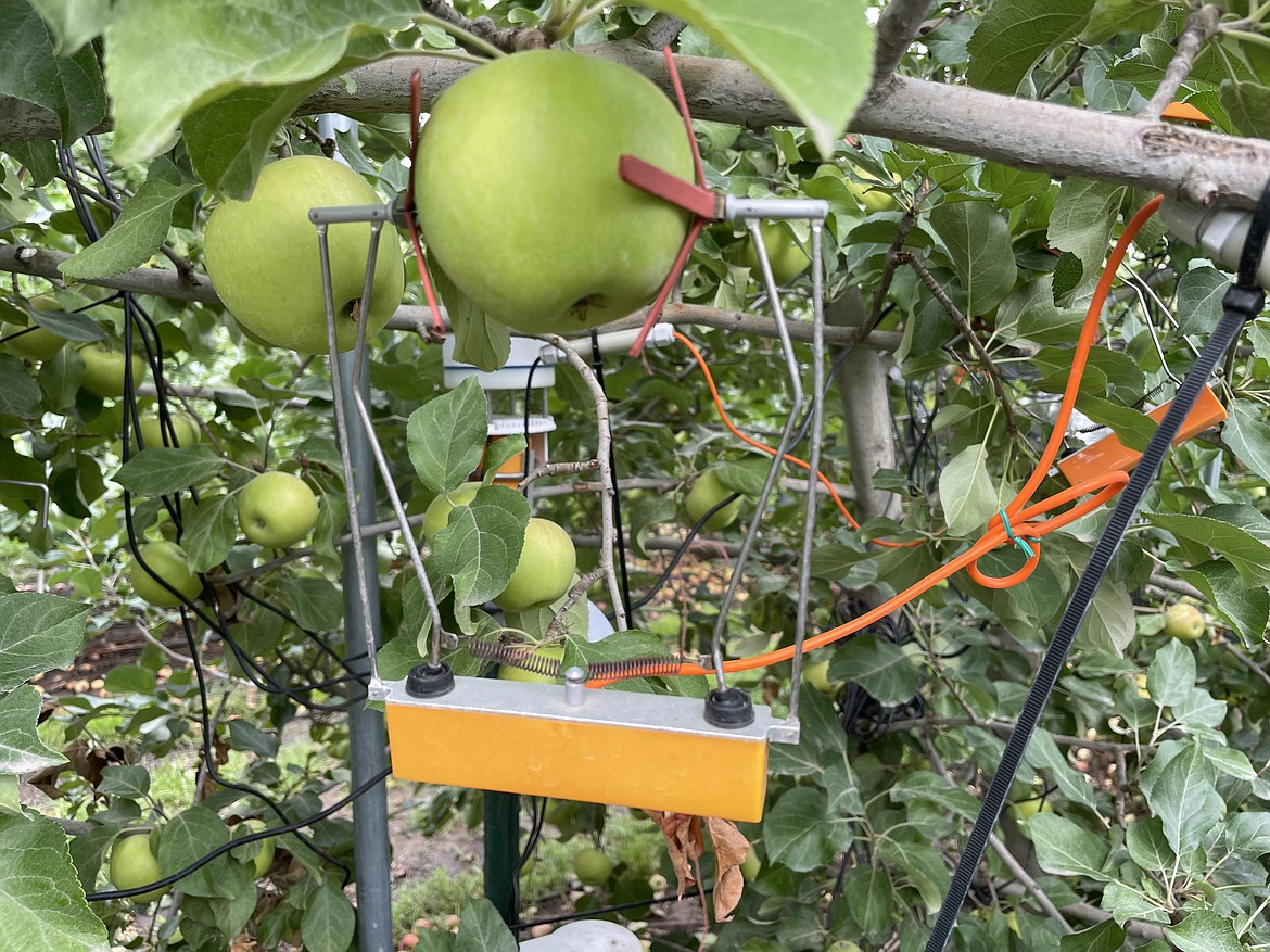 A dendrometer measuring an apple as it grows.
