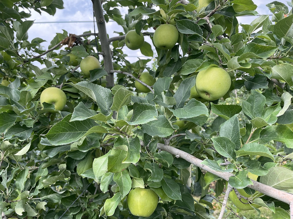 Apples in the Smart Orchard.