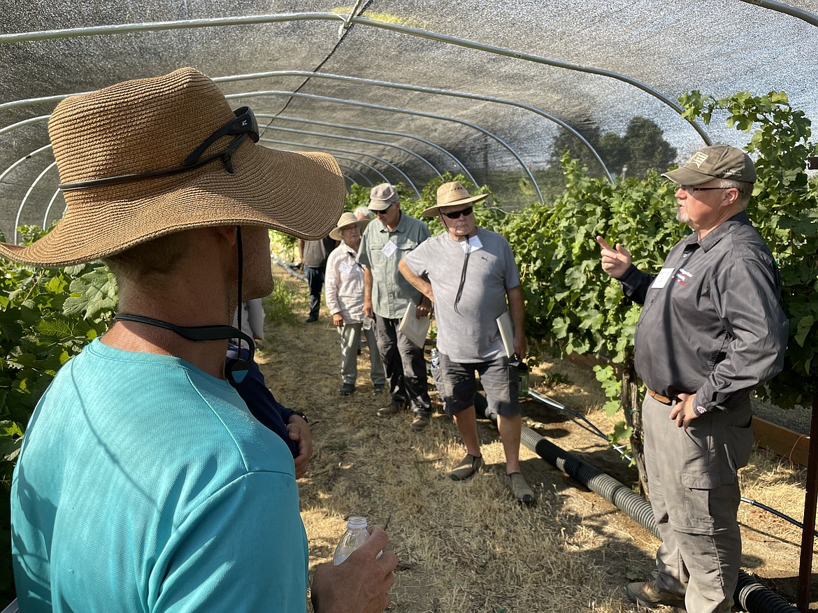 WSU researcher Tom Collins describes how how his experiment exposing grapes and vines to smoke is conducted. The overhead canopy is used to trap the smoke, and is used instead of clear greenhouse plastic because that would make the experimental area too hot, Collins said.